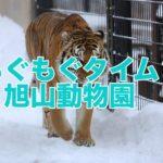 旭山動物園のもぐもぐタイムはおすすめ!子供と楽しむ北海道