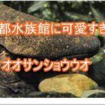 京都水族館にいるオオサンショウウオは国の特別天然記念物!!