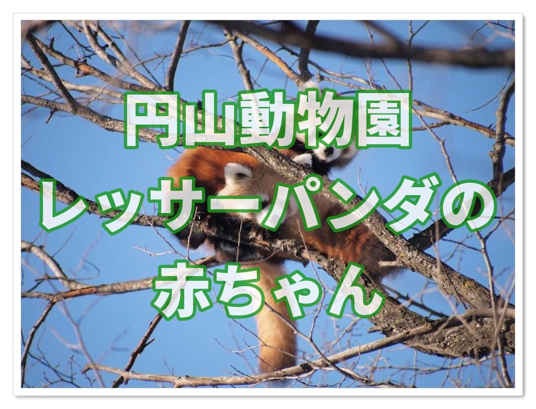 円山動物園のレッサーパンダの赤ちゃん かわいいぬいぐるみ